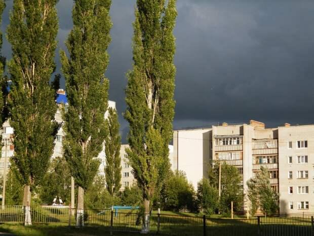 Почему в России много тополей?