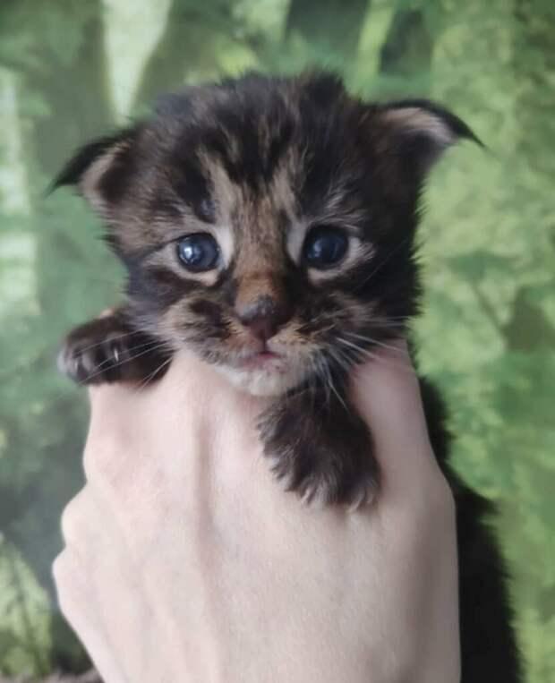 Котёнок мейн кун был подарен мне цыганской за то, что я ей оказала помощь на дороге.