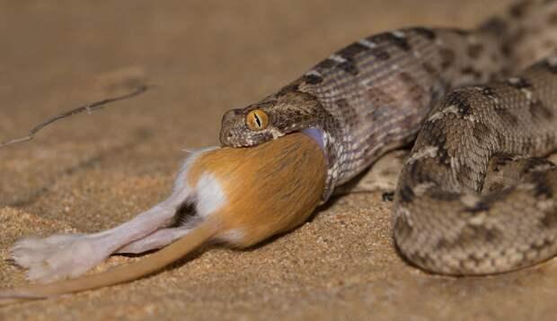 Песчаная Эфа: Одним укусом она уложит 5 человек. Дело о холоднокровной убийце, что входит в топ-10 опасных змей мира