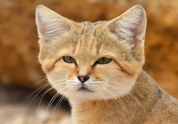 Барханная кошка дикие кошки, животные, кошки, природа