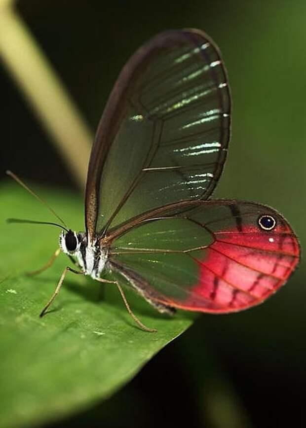 Самая маленькая бабочка – моль из Англии (Ацетозеи) и моль, родина которой Канарские острова (Редикулезы). бабочки, интересное, красота, насекомые