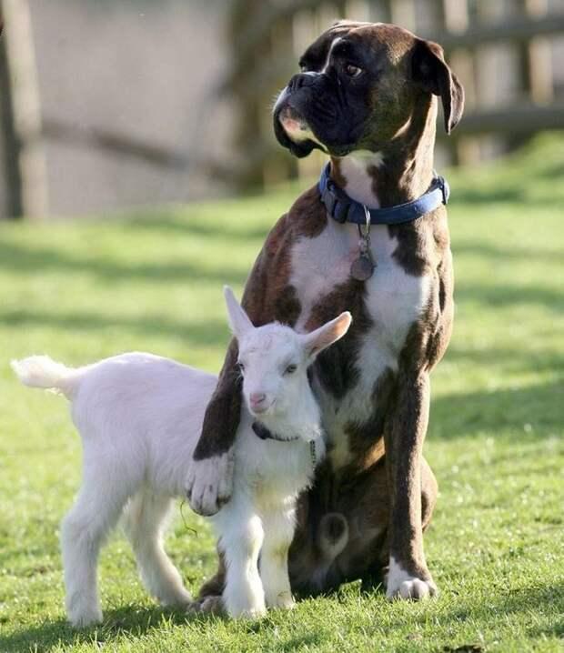 дружба между разными видами животных, дружба между животными