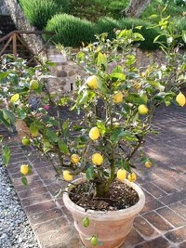 Разведение лимонов дома.