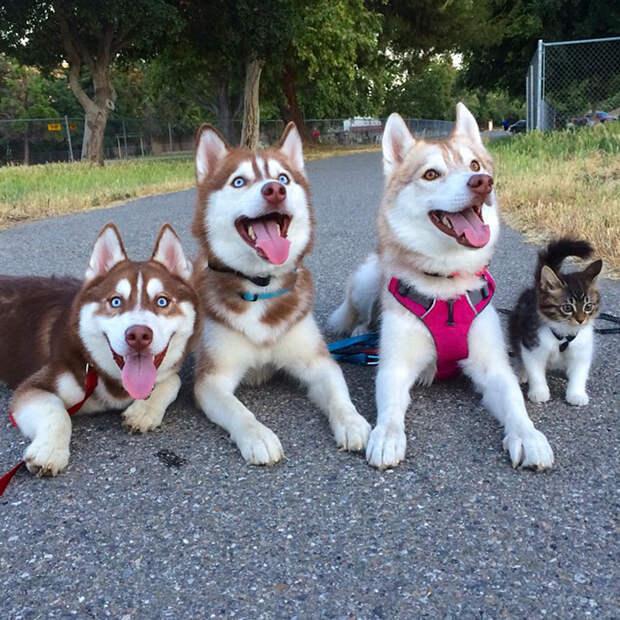 Эти хаски не только спасли умирающего котёнка, но и подарили ему любящую семью!