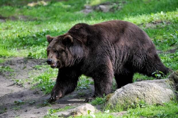 В Сибири медведь-людоед был застрелен возле останков убитого им подростка