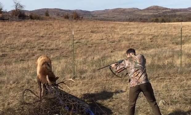 Олень запутался рогами и тут охотник с ружьем...