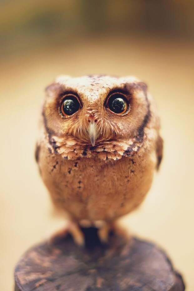 Невообразимо прекрасные совы в фотопроекте Шаммы Эсуф
