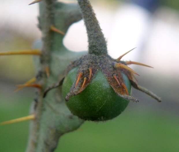 Ядовитый поркупинский томат