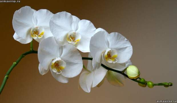 Орхидея фаленопсис белая с деткой Бронь б/у - SECOND.BY