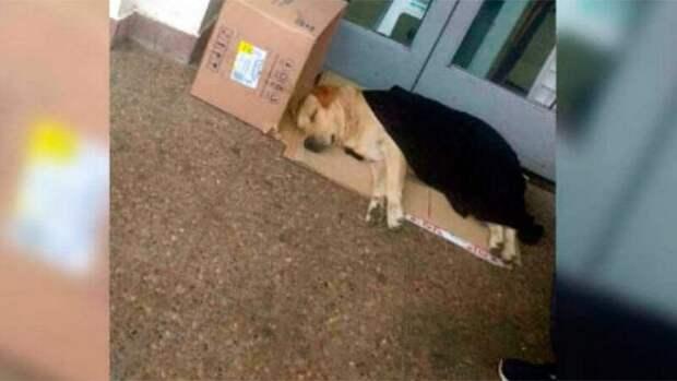 В Аргентине лабрадор всю неделю сидел у входа в больницу в ожидании хозяина