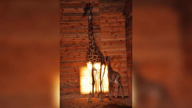 В Крыму родился первый детёныш жирафа