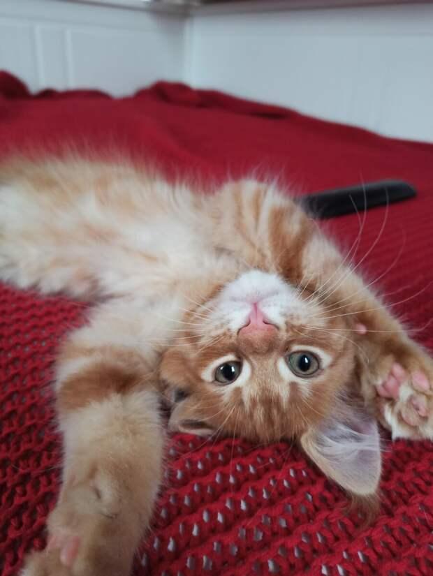 Первые дни второго мейн-куна в доме. Кот с собачьим именем оказался не таким, как мы ожидали