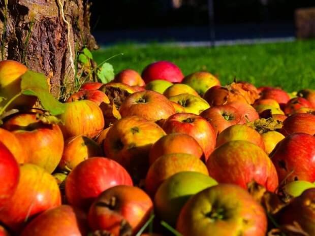 Как ускорить плодоношение яблони?