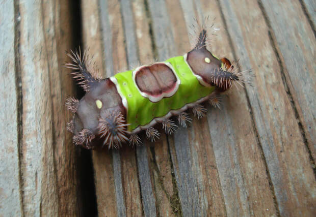 caterpillar-moth-butterfly-before-after-metamorphosis-3-1