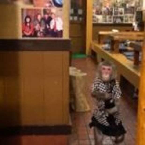 Обезьяна-официантка: В этом баре вас обслужит милая макака