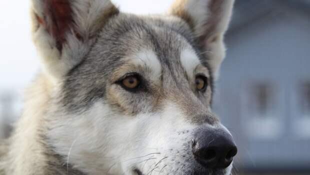 Собака в Кстинино оповестила о пожаре в доме и спасла людей от гибели