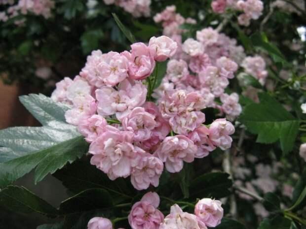 Цветение боярышника морденского