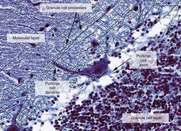 Самая маленькая и большая клетка человека