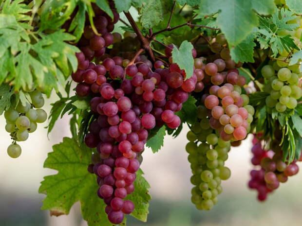 Правильная посадка винограда на даче