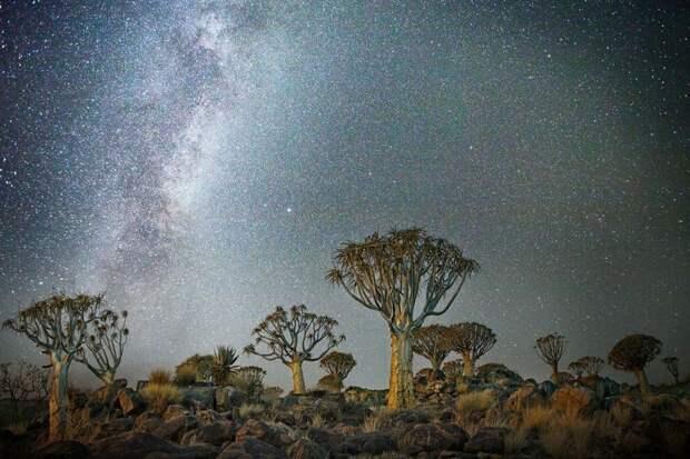 «Алмазные ночи» Бет Мун – старейшие деревья Земли на фонезвезд
