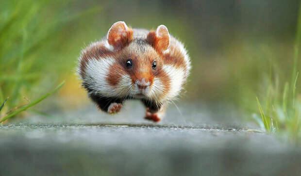 Фото спешащего хомяка победило на престижном конкурсе.