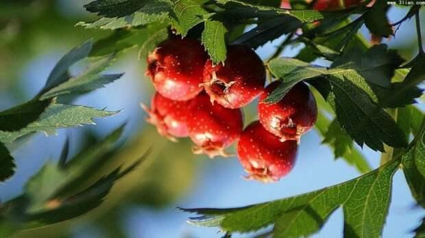 Листья и ягоды боярышника перистонадрезанного