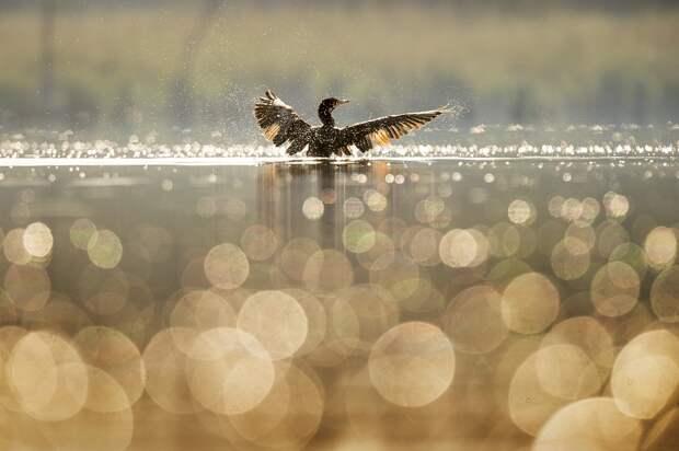 Птица, Утка, Крылья, Пятно, Боке, Озеро, Природа, Река