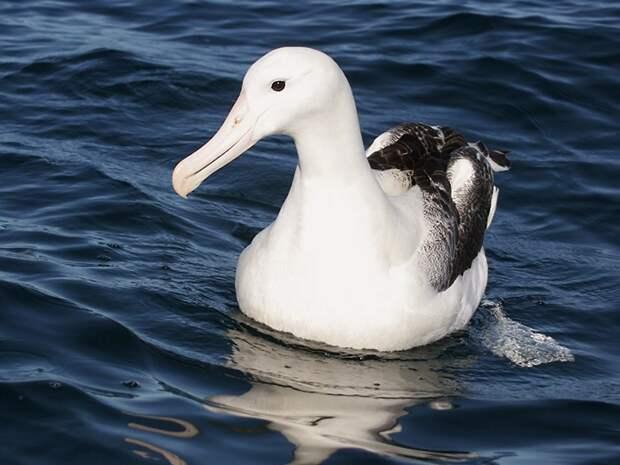 Альбатрос-птица-Описание-образ-жизни-и-виды-альбатроса-4