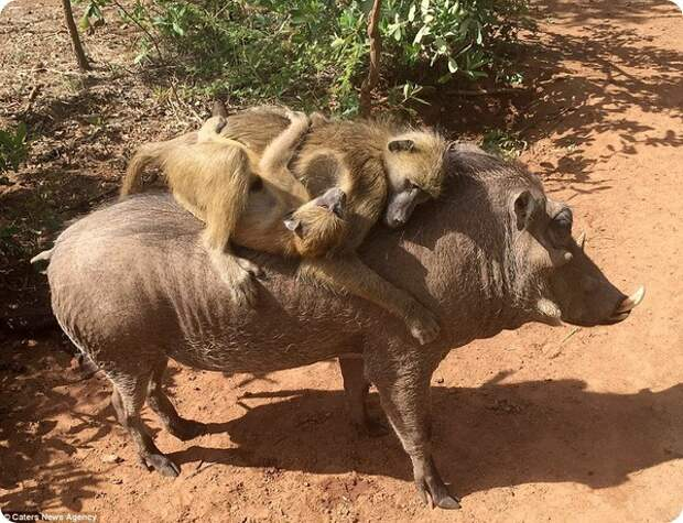 Бородавочник и бабуины – лучшие друзья!
