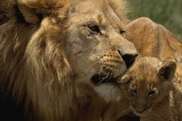 Львиная любовь