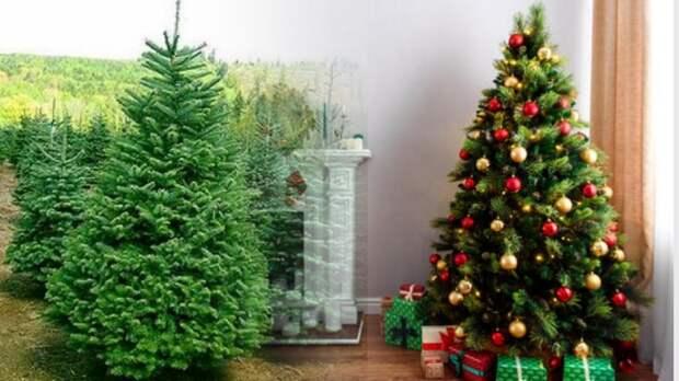 Живая или искусственная: какую ёлку вы наряжаете дома на Новый год? - ОПРОС