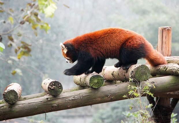 необычные животные Китая