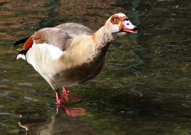 Нильский гусь: Птица, которая стала в Евросоюзе вне закона из-за своей наглости