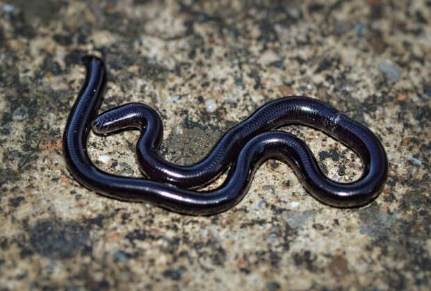 Indotyphlops braminus