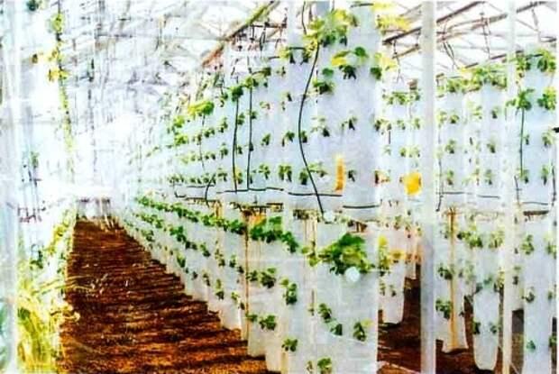 Выращивание клубники в теплице в мешках – прибыльный бизнес