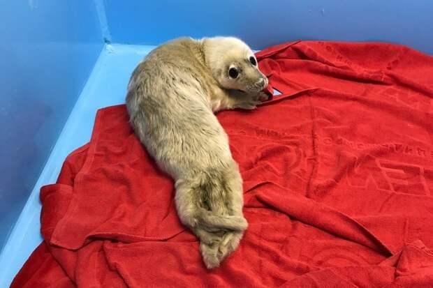 Малышу-тюленю, которому всего неделя от роду, нашли на берегу Финского залива. Фото: vk.com/sealrescue
