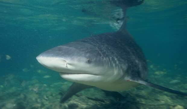 В Австралии акула-людоед заплыла в реку и попала на видео