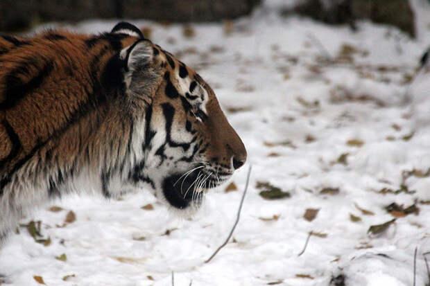 Под Хабаровском амурская тигрица погибла после ДТП