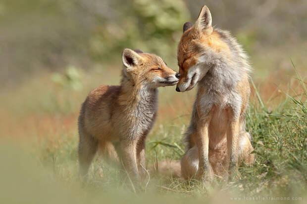 Непредсказуемые дикие лисы в фотографиях Розелин Реймонд-4