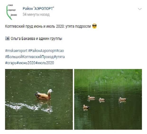 Фото дня: Утята из Коптевского пруда подросли