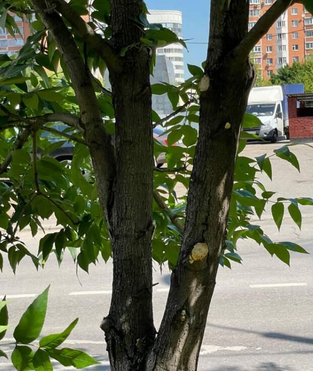 На Хорошевском шоссе спилили сломанные ветки — управа