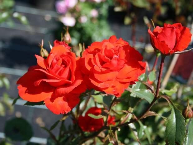 Розы: выбор сортов для сада