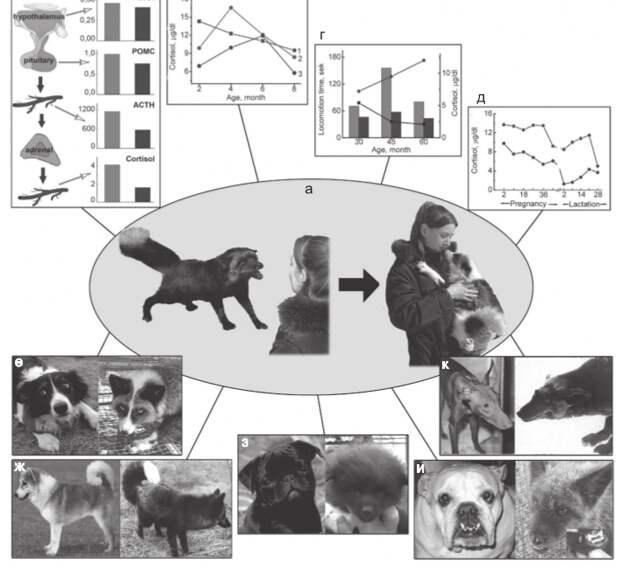 «Самодоместикация»: модель, которая не везде работает