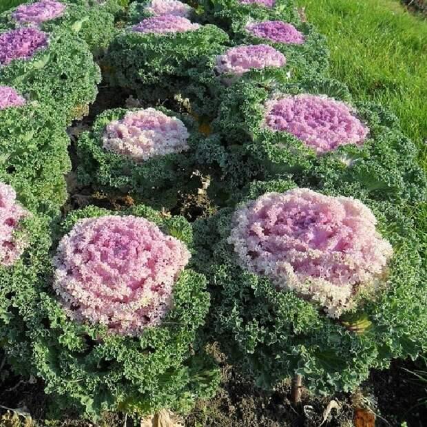 Модный огород: Клумбы из декоративной капусты