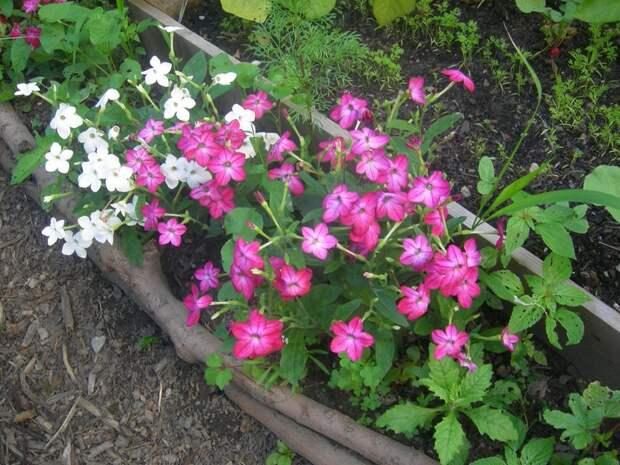 Против вредителей посадите в саду табак