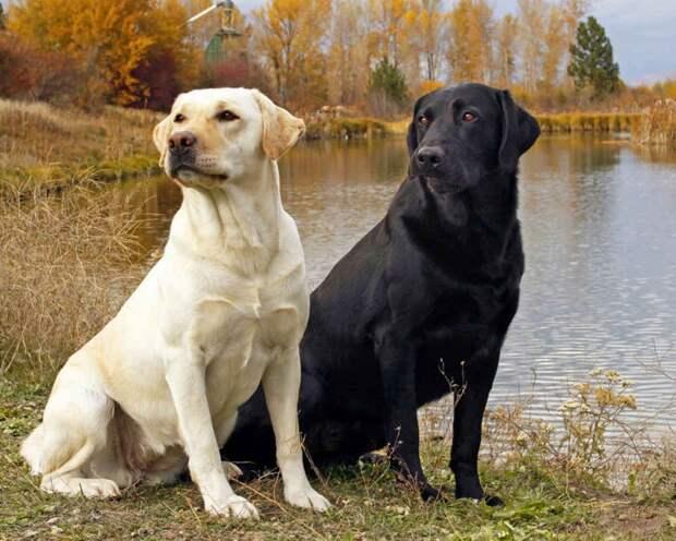 5 пород собак, которые отличаются интеллеком и склонностью к дрессировке