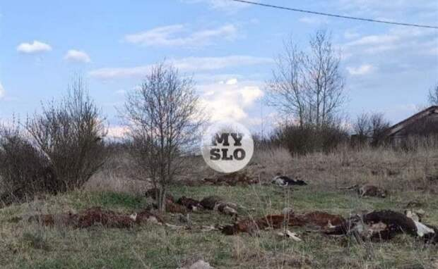 В Тульской области обнаружено 150 мёртвых коров