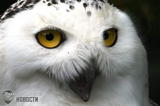Странная связь между белыми совами, НЛО и инопланетянами