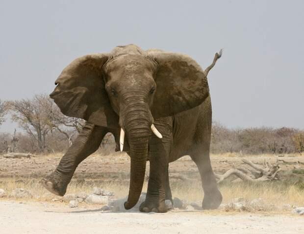 Стопы слонов усыпаны множеством чувствительных рецепторов. Таким образом они чувствуют топанье других слонов даже на большом расстоянии.