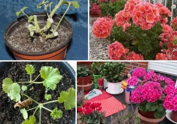 Когда и как правильно обрезать герань весной для пышного цветения: советы цветоводов и биологов